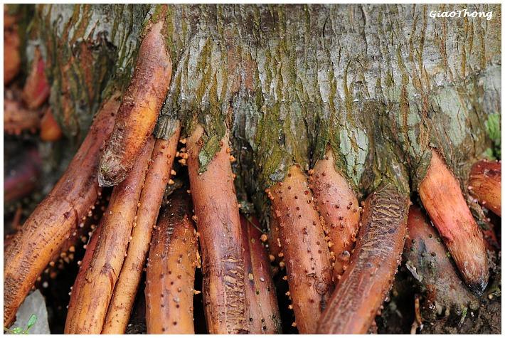 Bài thuốc chữa liệt dương bằng rễ cau tốt hơn cả Viagra