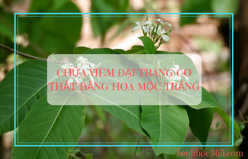 hoa mộc trắng - cây thuốc nam chữa viêm đại tràng co thắt