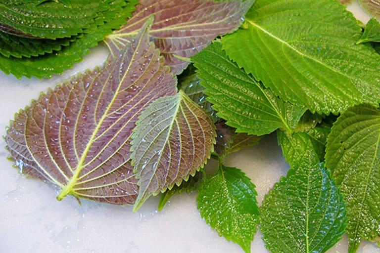 Cách dùng lá tía tô để kháng khuẩn, giảm đau hiệu quả